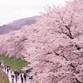 写真: 大河原ひと目千本桜-06332