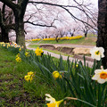 Photos: 大河原ひと目千本桜-06379