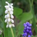 Photos: 白と紫