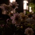 Photos: 深夜の花壇(花の名前は不明)