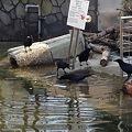 写真: 東山動植物園_04:ビーバーとその餌を狙うカラス