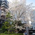 写真: 大須観音の境内にある桜が満開(2015/3/22)No - 1