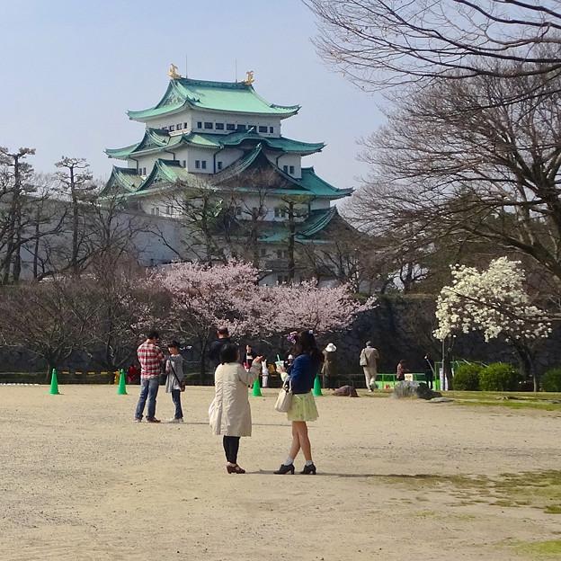 名古屋城天守閣と満開の桜(金さん・銀さんが植樹した「エドヒガン」、2015/3/21) - 2