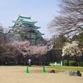 写真: 名古屋城天守閣と満開の桜(金さん・銀さんが植樹した「エドヒガン」、2015/3/21) - 3