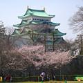 写真: 名古屋城天守閣と満開の桜(金さん・銀さんが植樹した「エドヒガン」、2015/3/21) - 6