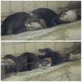 写真: 春の東山動植物園:とっても可愛らしかった、コツメカワウソの子供