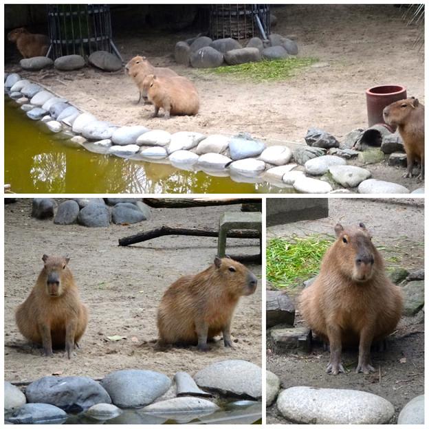 写真: 春の東山動植物園:なぜか一直線に並んで座ってた、カピバラの親子 - 1