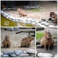 写真: 春の東山動植物園:なぜか一直線に並んで座ってた、カピバラの親子 - 2