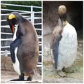 写真: 東山動植物園:換羽時とそうでない時のオウサマペンギン - 2