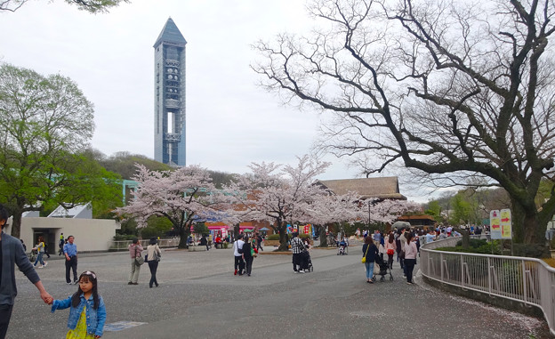 春の東山動植物園 No - 003:満開の桜と東山スカイタワー(2015/4/4)