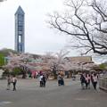 写真: 春の東山動植物園 No - 003:満開の桜と東山スカイタワー(2015/4/4)