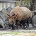 写真: 春の東山動植物園 No - 008:なぜかいつもより茶色がかっていた、インドサイ
