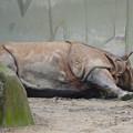 写真: 春の東山動植物園 No - 013:なぜかいつもより茶色がかっていた、インドサイ