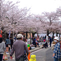 写真: 春の東山動植物園 No - 027:満開の桜(2015/4/4)