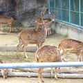 写真: 春の東山動植物園 No - 030:毛並みが綺麗だったアクシスジカ