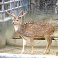 写真: 春の東山動植物園 No - 032:毛並みが綺麗だったアクシスジカ