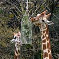 写真: 春の東山動植物園 No - 060:食事中のアミメキリンの親子