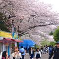 写真: 春の東山動植物園 No - 115:満開の桜(2015/4/4)