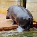 写真: 春の東山動植物園 No - 120:水から上がるカバ