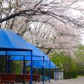 Photos: 春の東山動植物園 No - 123:満開の桜(2015/4/4)