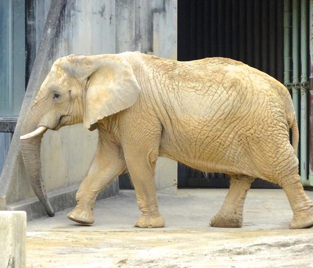 春の東山動植物園 No - 124:同じ所を歩きまわる、孤独なアフリカゾウ