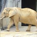 Photos: 春の東山動植物園 No - 124:同じ所を歩きまわる、孤独なアフリカゾウ