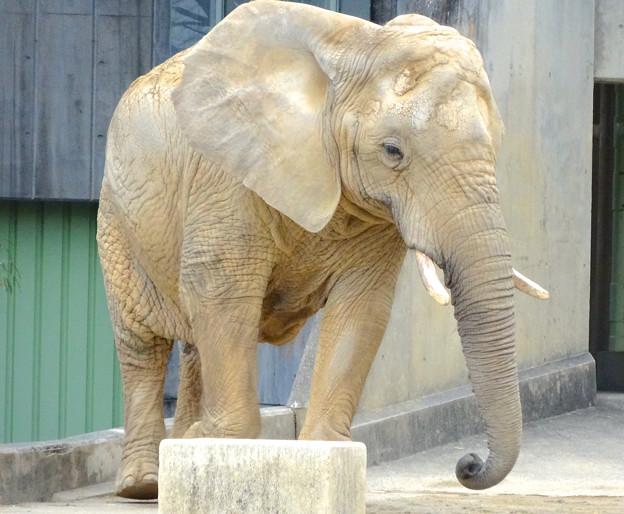 春の東山動植物園 No - 125:同じ所を歩きまわる、孤独なアフリカゾウ
