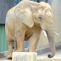 Photos: 春の東山動植物園 No - 125:同じ所を歩きまわる、孤独なアフリカゾウ