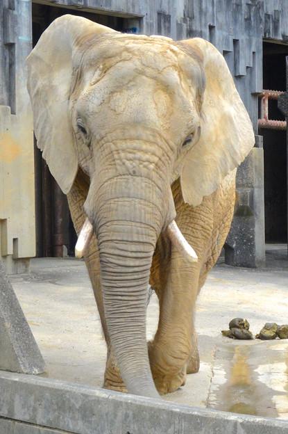 春の東山動植物園 No - 126:同じ所を歩きまわる、孤独なアフリカゾウ