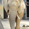 Photos: 春の東山動植物園 No - 126:同じ所を歩きまわる、孤独なアフリカゾウ