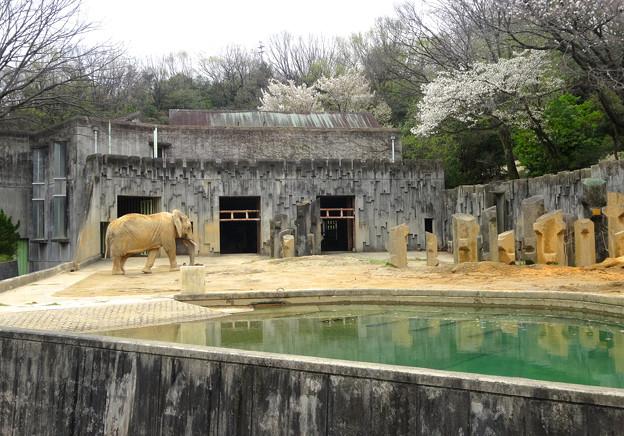 春の東山動植物園 No - 127:孤独なアフリカゾウと桜(2015/4/4)