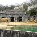 写真: 春の東山動植物園 No - 127:孤独なアフリカゾウと桜(2015/4/4)