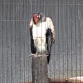 写真: 春の東山動植物園 No - 137:53歳(1962年生まれ)!?の、トキイロコンドル