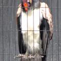 写真: 春の東山動植物園 No - 138:53歳(1962年生まれ)!?の、トキイロコンドル
