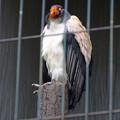 写真: 春の東山動植物園 No - 144:53歳(1962年生まれ)!?の、トキイロコンドル