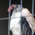 写真: 春の東山動植物園 No - 146:53歳(1962年生まれ)!?の、トキイロコンドル