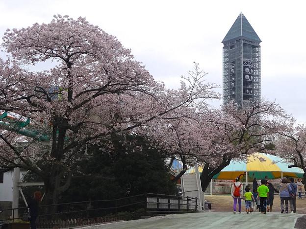 春の東山動植物園 No - 155:満開の桜と東山スカイタワー(2015/4/4)