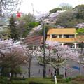 Photos: 春の東山動植物園 No - 157:満開の桜(2015/4/4)