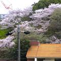 Photos: 春の東山動植物園 No - 158:満開の桜(2015/4/4)