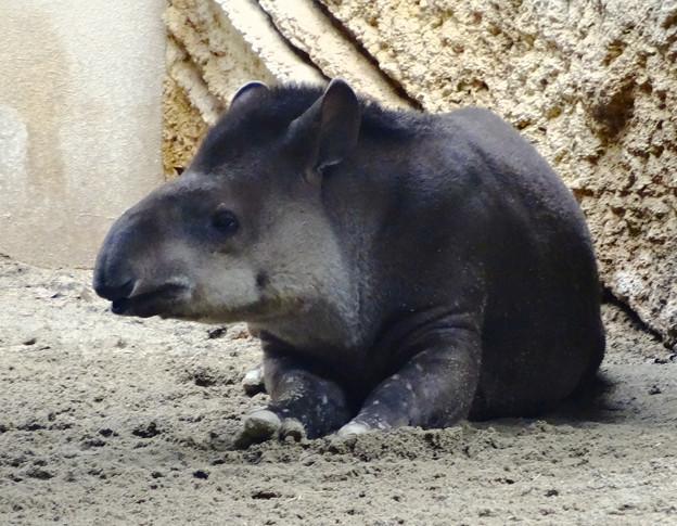 春の東山動植物園 No - 168:奥さんが最近死んだので打ちひしがれて見えた、ブラジルバク