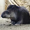 写真: 春の東山動植物園 No - 168:奥さんが最近死んだので打ちひしがれて見えた、ブラジルバク