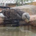 Photos: 春の東山動植物園 No - 181:水を飲むハクトウワシ