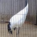 写真: 春の東山動植物園 No - 194:タンチョウヅル