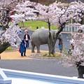 写真: 春の東山動植物園 No - 198:満開の桜(2015/4/4)