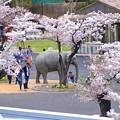 写真: 春の東山動植物園 No - 199:満開の桜(2015/4/4)