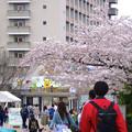 写真: 春の東山動植物園 No - 200:満開の桜(2015/4/4)
