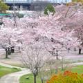 Photos: 桜の時期、水の塔から見下ろした落合公園(2015/4/7)No - 33