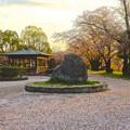 写真: 落合公園:夕暮れ時、散り際の桜(2015/4/8)No - 02