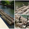 写真: 山王橋の袂に浮かぶ材木の上に、沢山のアオサギとカワウ!? - 17