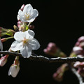 Photos: 開花宣言